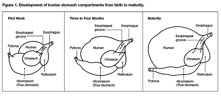 bovine stomach compartments