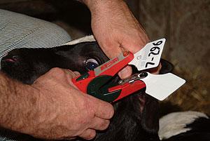 ear tagging